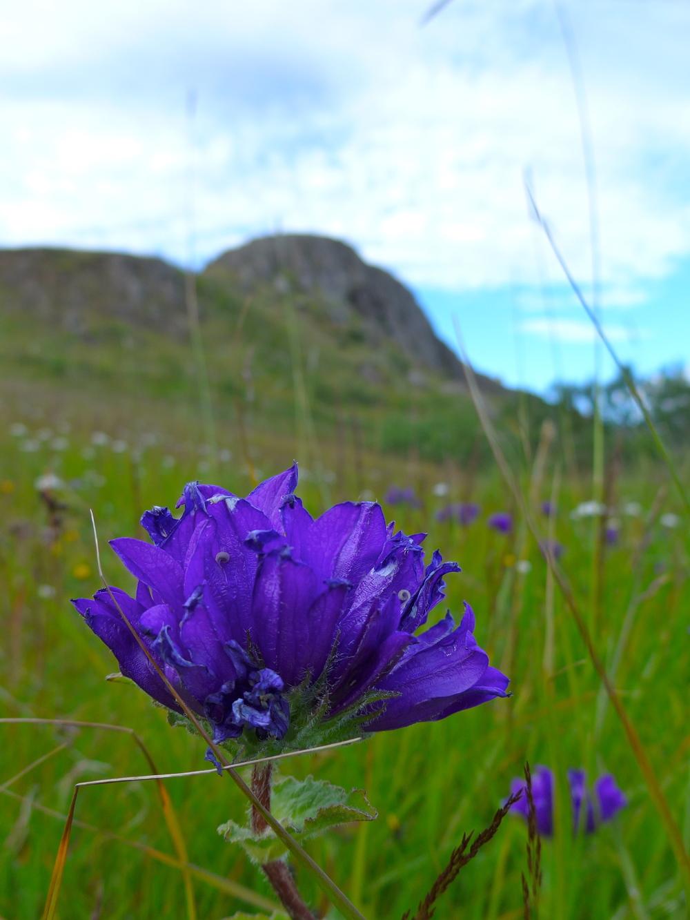 Vivid purple wildflowers.