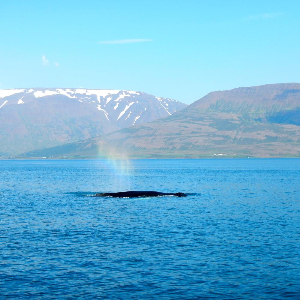 Whale spouting a rainbow.