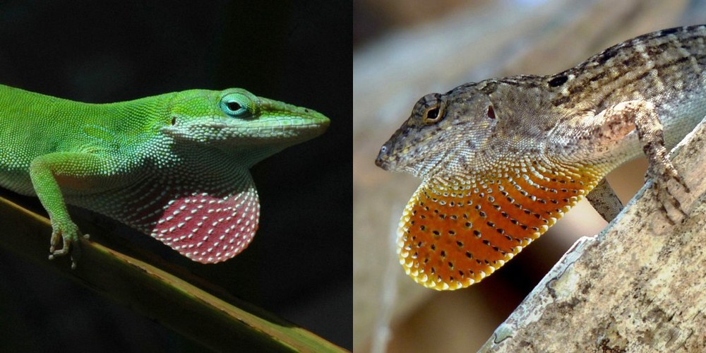 Male green (left) and brown (right) anoles displaying their neck sails, or dewlaps. Credit: Todd Campbell and Adam Algar.
