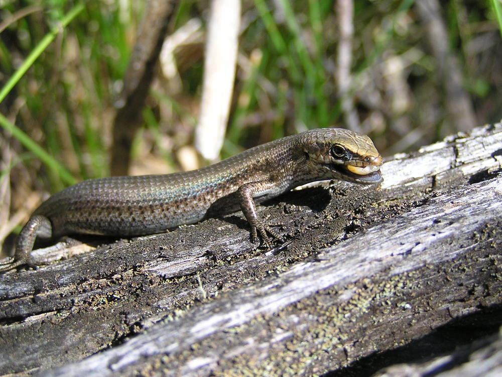 A southern grass skink eating a meal worm. Photo courtesy of Jacquie Herbert