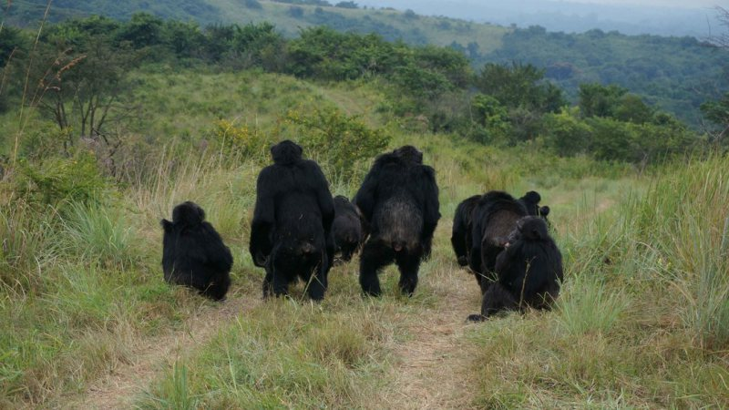 A group of male chimpanzees listening to the communications of a neighbouring group. Photo: John Mitani.