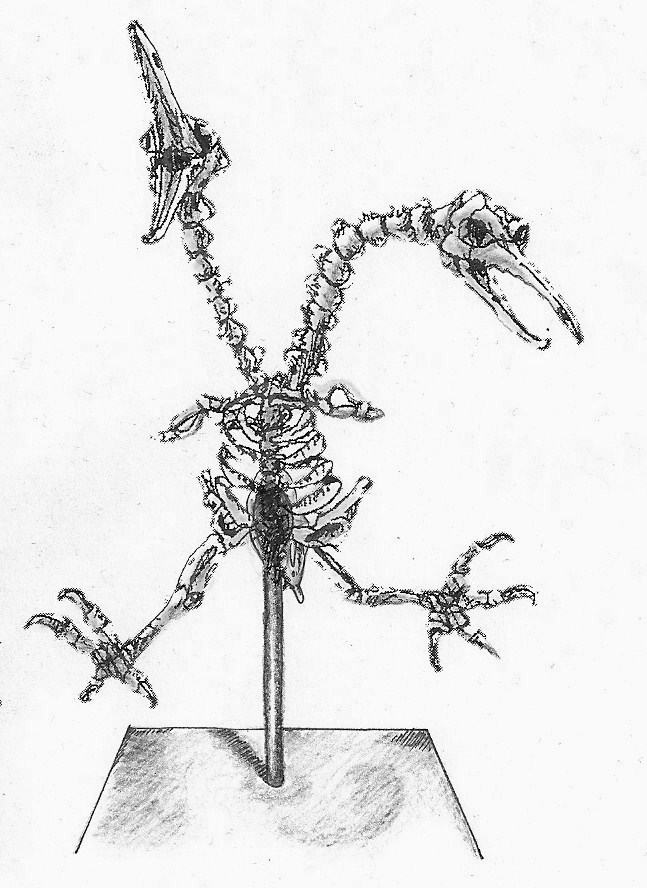 Museum display of extant avianoid skeleton. Doduo, Polycephala.jpg