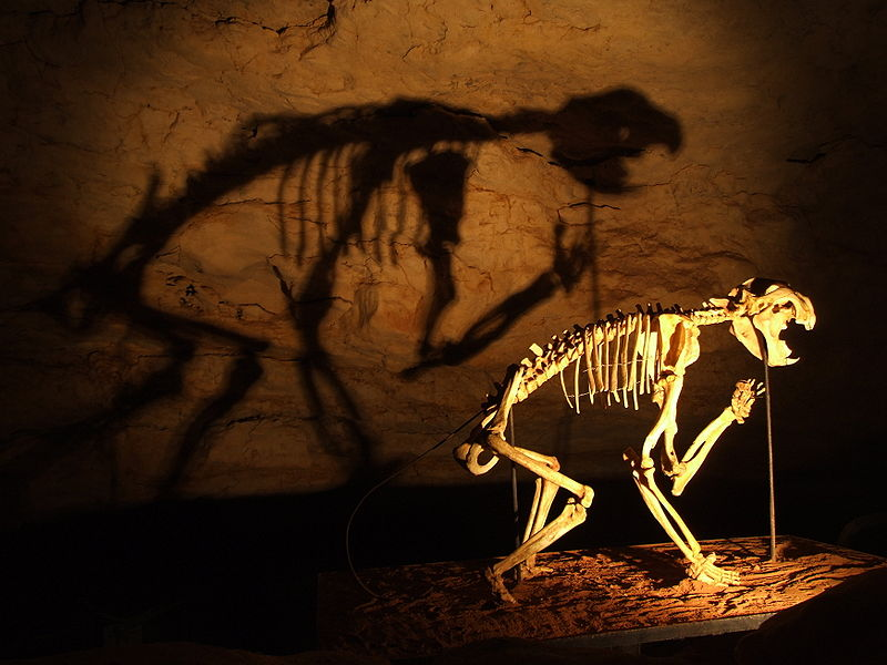 """A skeleton of a Marsupial Lion (Thylacoleo carnifex) in the Victoria Fossil Cave, Naracoorte Caves National Park."" Wikicommons."