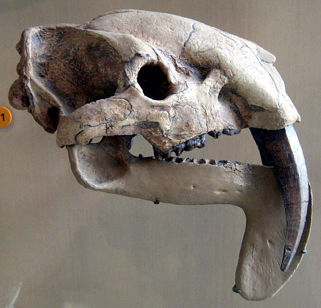 """Four million year old skull of Thylacosmilus atrox, a saber-toothed marsupial meat eater from South America. Picture taken at the American Museum of Natural History."" Wikicommons."