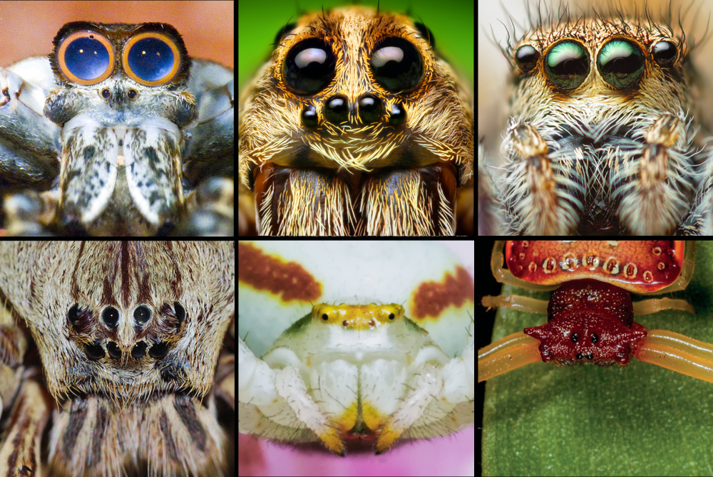 """Here's a story, of some lovely ladies…"" Top left: net-casting spider (Robert Whyte); top middle: wolf spider (Thomas Shahan) top right: jumping spider (Thomas Shahan); bottom left: huntsman (Tamara Negara); bottom middle: crab spider (James Allan); bottom right: horned arkys (Greg Anderson)."