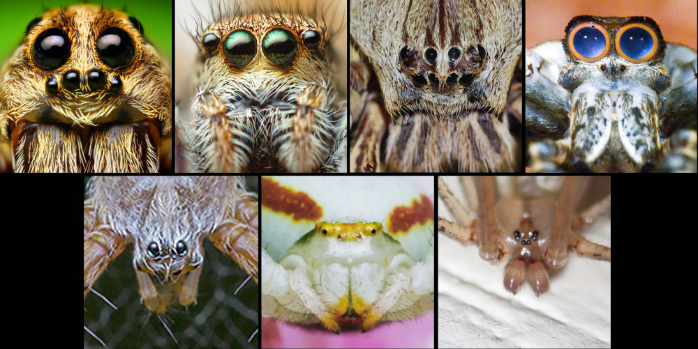 What big eyes you have!? All the better for spotting flies and sexy abdomen displays with. (Daddy long legs image: Flickr/stevenw12339).