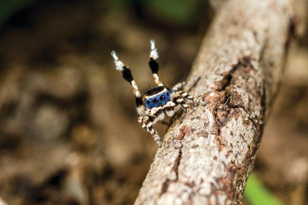 Maratus personatus– Masked Peacock Spider [M] Cape Riche WA. Feature image: Jürgen Otto.