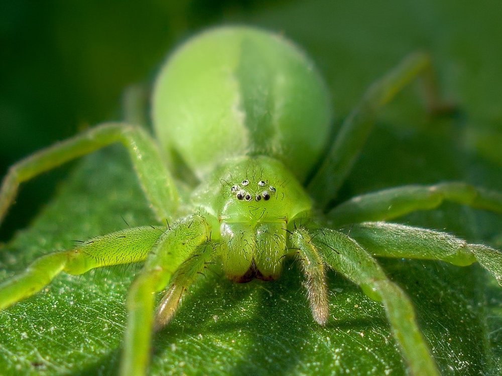Green huntsman. No crashing cars for this jelly baby. Image: Alexey Kljatov.