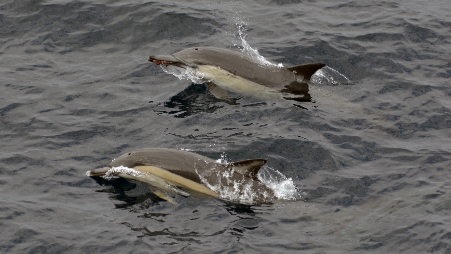 Insert cetacean. Here are two common dolphins (Delphinus delphis) that were skipping alongside our ship. Photo taken by Eric Woehler from the monkey bridge. The lucky dolphin further back has a hapless octopus crunched in its beak.