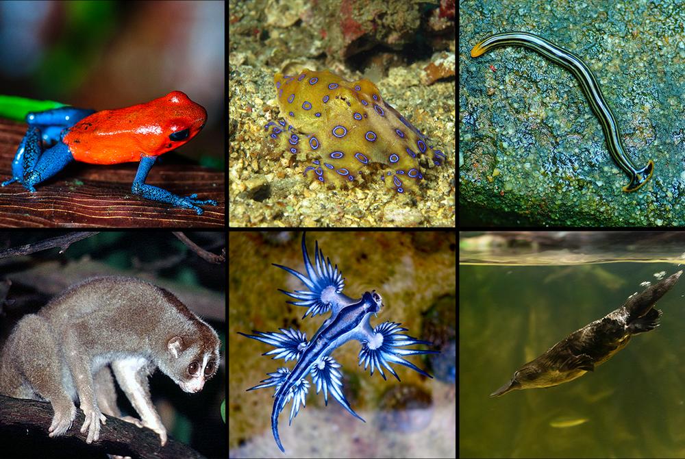 An array of venomous creatures covered in 'Venom'. Top left: blue-jeans frog (Daniel Solabarrieta), Top middle: blue-ringed octopus (Noodlefish), Top right: Hammerhead worm (Vengolis), Bottom left: slow loris (Dick Culbert), Bottom middle: blue dragon sea slug (Sylke Rohrlach), Bottom right: platypus (Matt Chan)