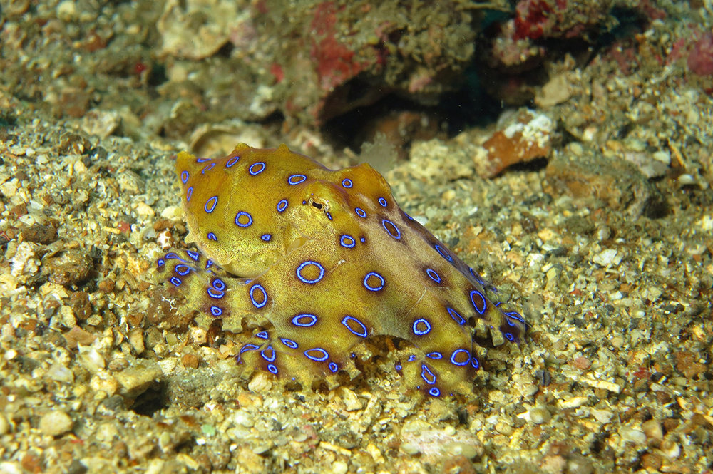 The inexplicably named blue-ringed octopus. Image: Noodlefish/Flickr/CC