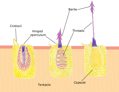 A colourful diagram for how cnidocytes (containing cnidocysts) work. Image: Spaully/Wikimedia Commons