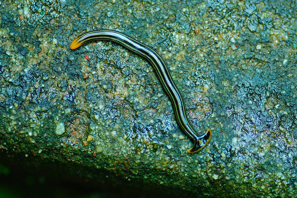 A hammerhead worm. In terms of threat level, a definite one-up from the shark. Image: Vengolis/Wikimedia Commons