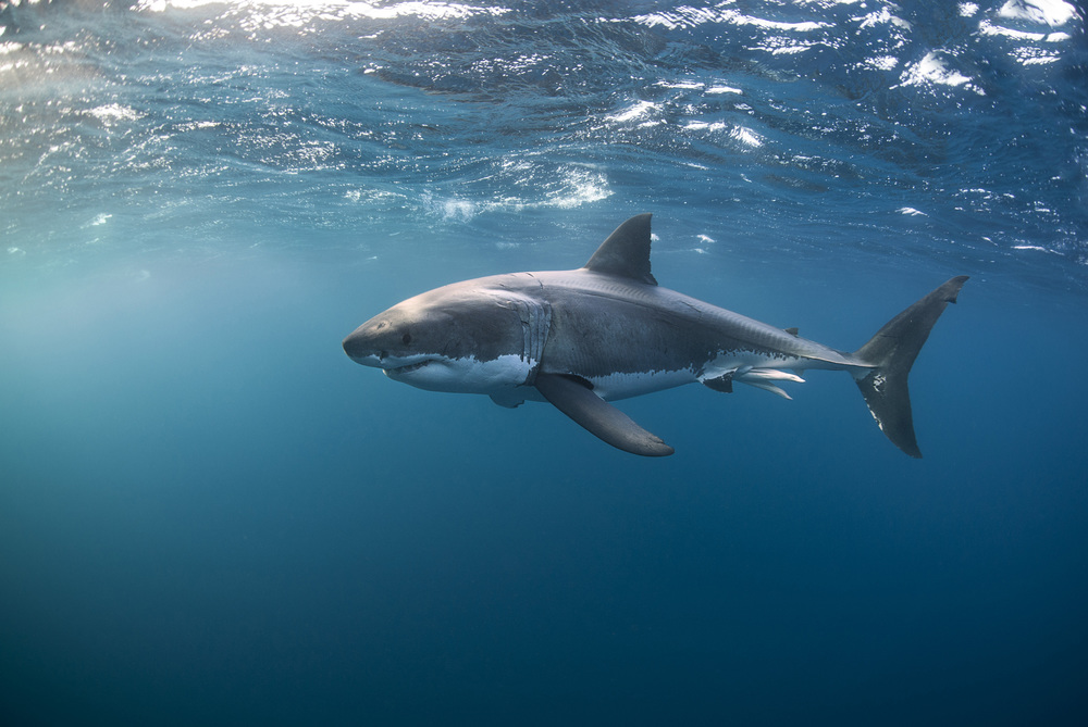 Great white shark at the Neptune Islands.