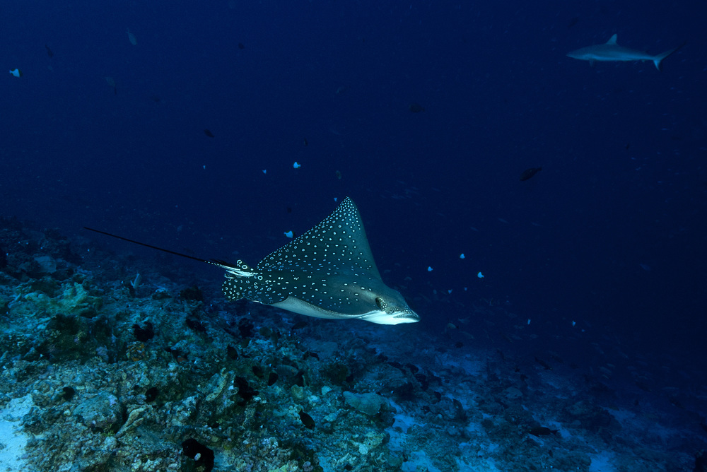 Eagle Ray, Tiputa Pass, Rangiroa, French Polynesia.