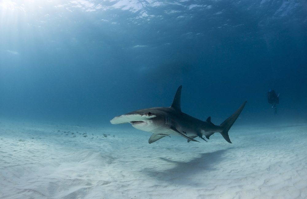 Great hammerhead shark, Bimini, Bahamas.