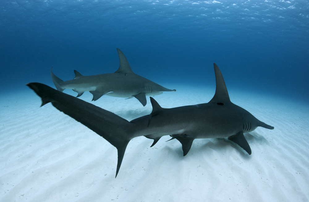 Pair of great hammerhead sharks