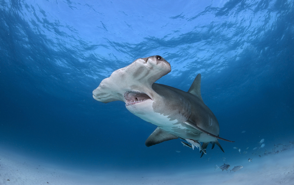 Great hammerhead shark passes over head