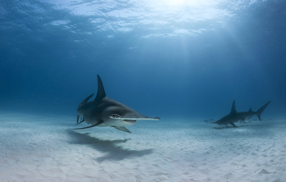 Great hammerhead sharks