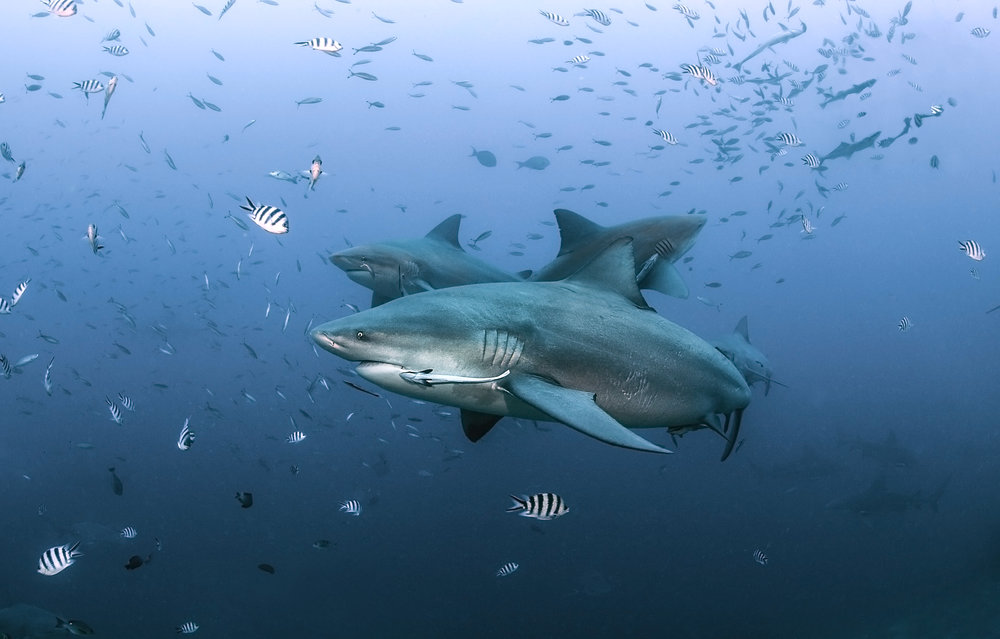 Bull sharks at Beqa Lagoon, Fiji.