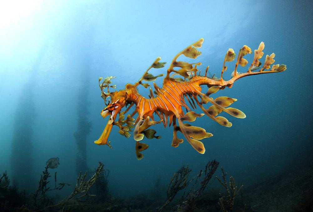 Leafy Seadragon at Rapid Bay, South Australia.