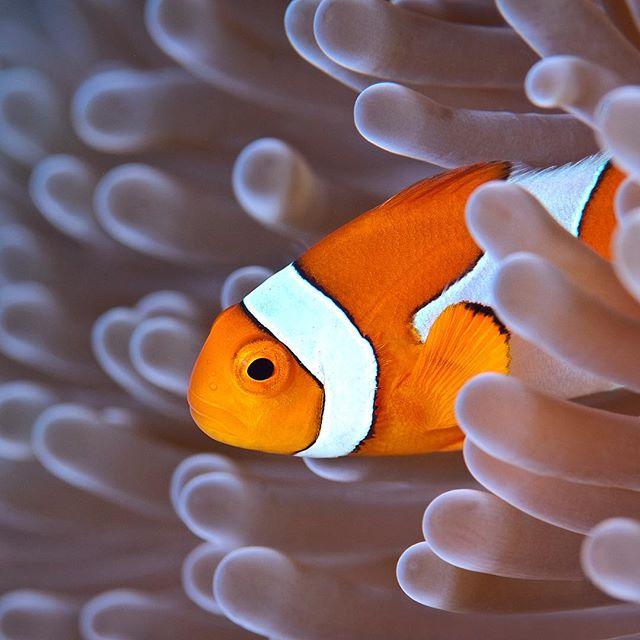 Ocellaris Clownfish taken at Raja Ampat Indonesia #clownfish #nemo #rajaampat #indonesia #macro #anemone #strobist