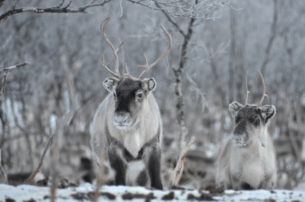 Reindeer spotted in the forest between Abisko and Narvik