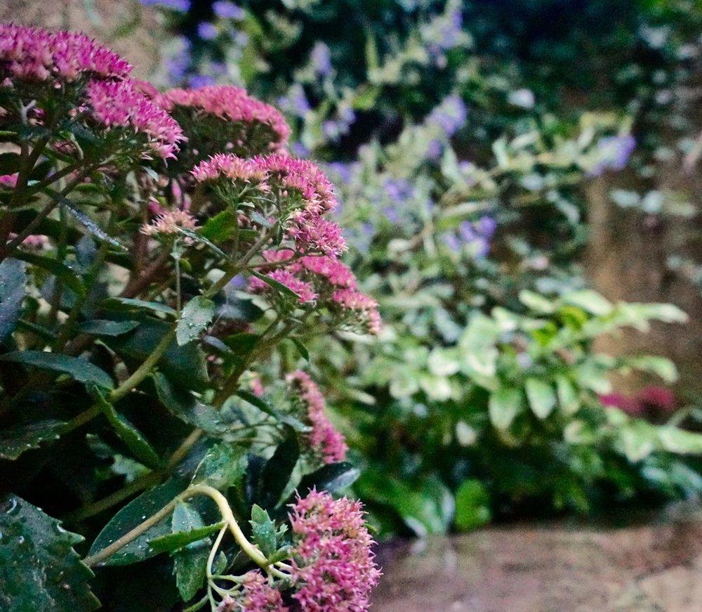 Pink sedum in a quiet backyard planting.
