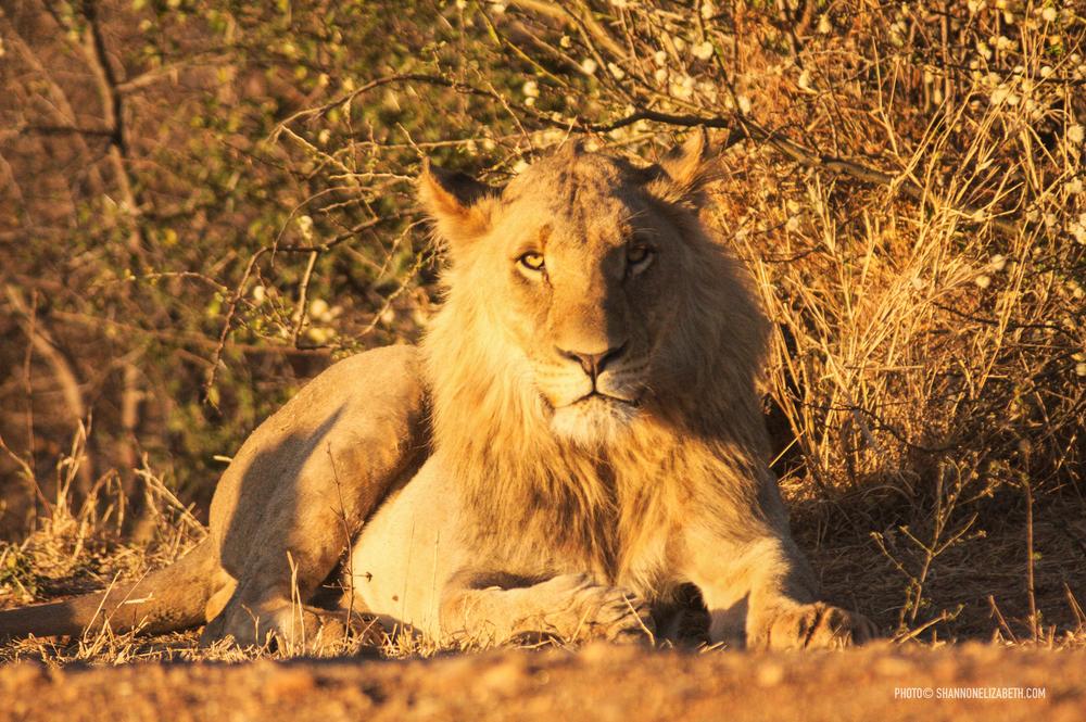 Lion2-5042.jpg