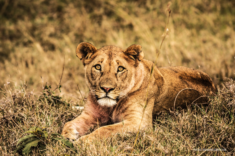 Lion-3080.jpg