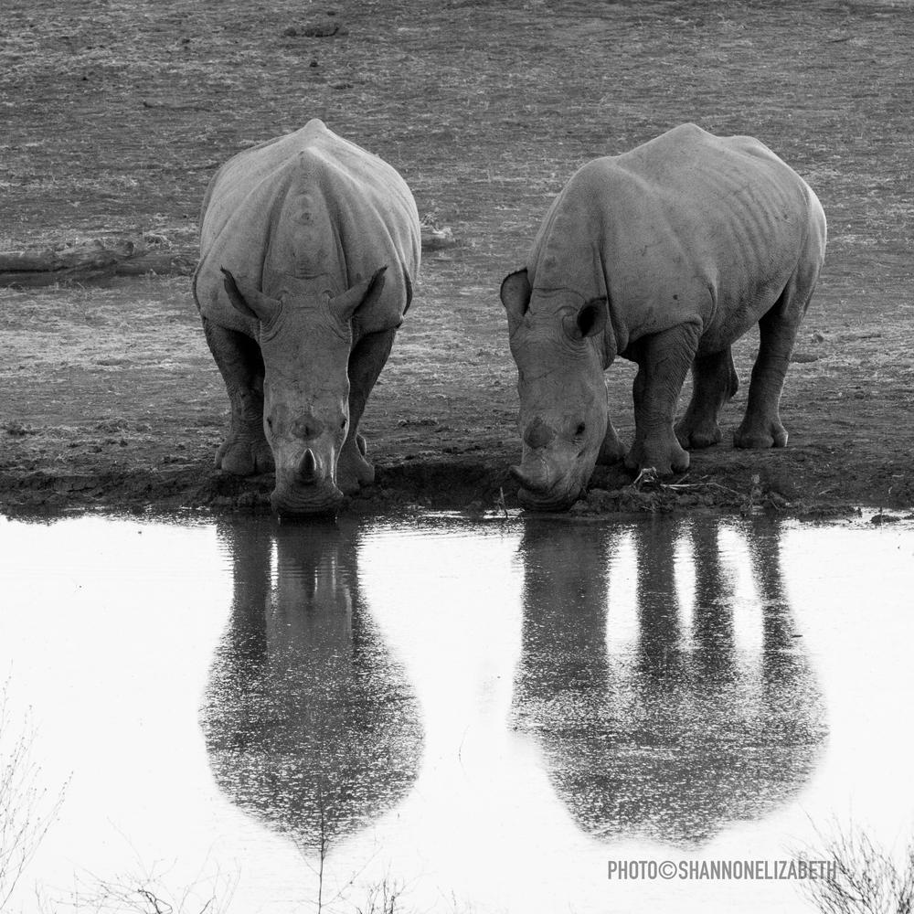 Rhino drinking-5427.jpg