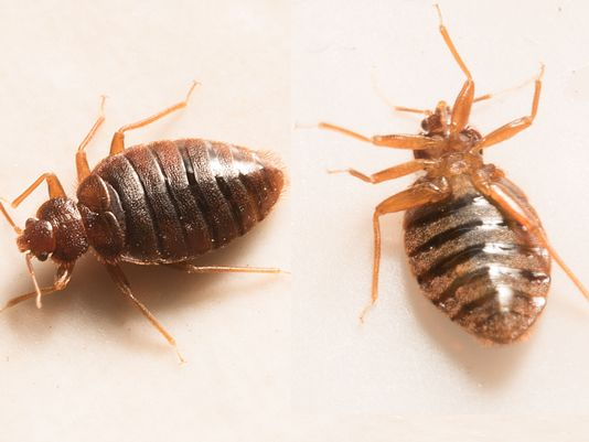 Bed Bug Removal NYC - Our Bed Bug Removal in NYC is the best in the industry! We include two treatments and a 90 day guarantee. Best of all, we do not require you to prep your entire home!
