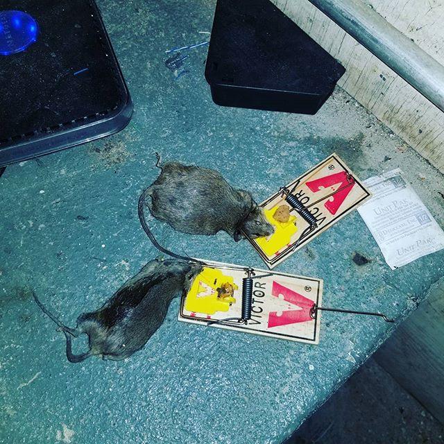Mice Exterminator NYC   Mouse Exterminator NYC