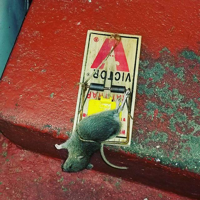 Rat Exterminator NYC | Rodent Control NYC
