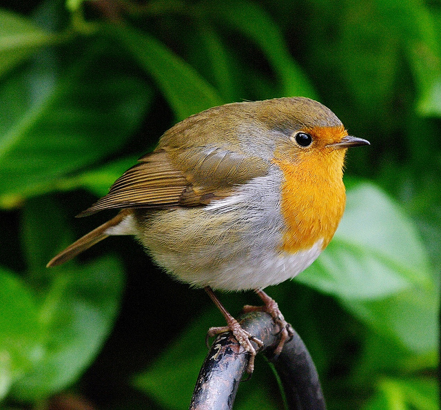 European robin, used with kind permission from Briton Parker.
