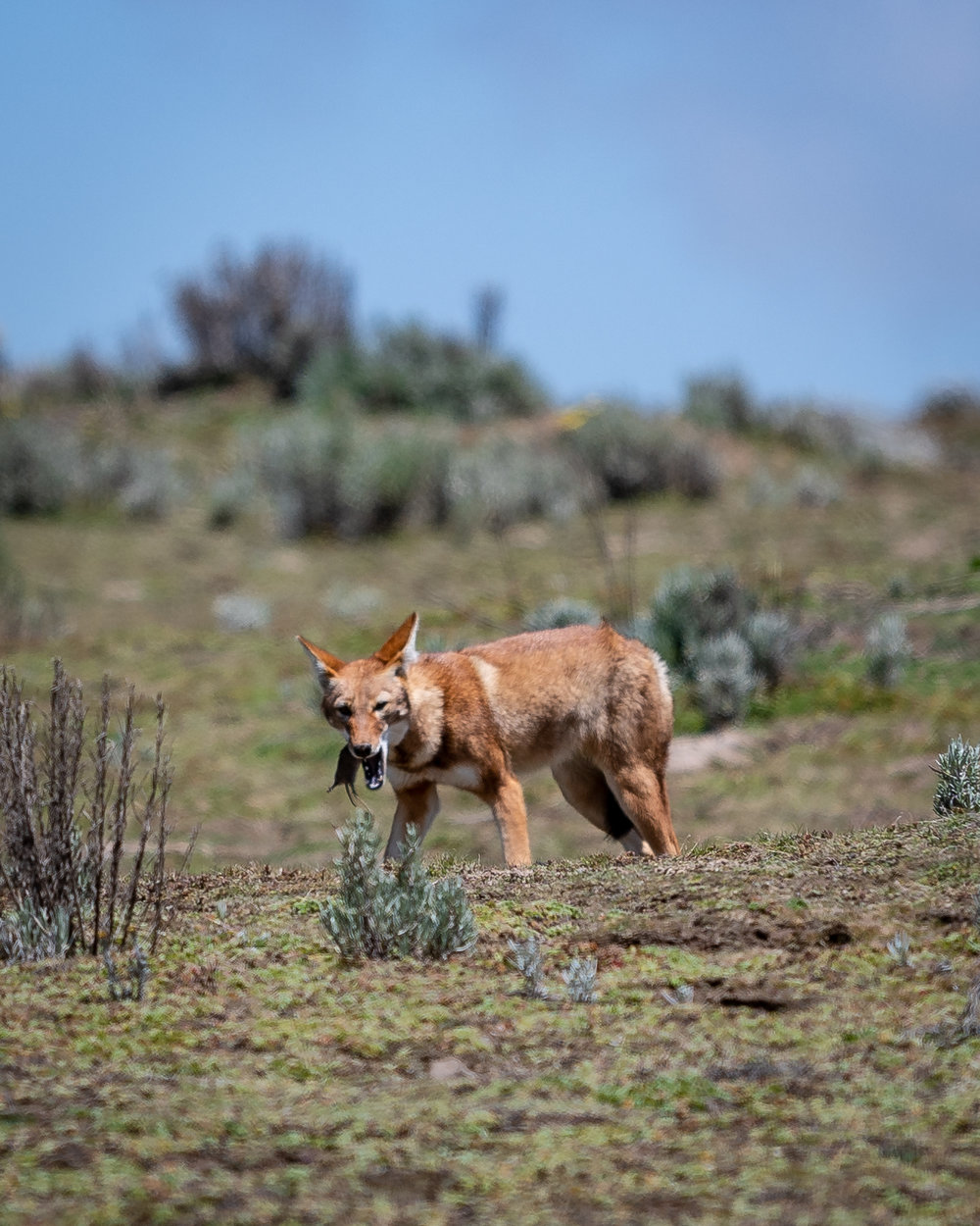 Ethiopian Wolf snacking on Giant Mole Rat in the Sanetti Plateau