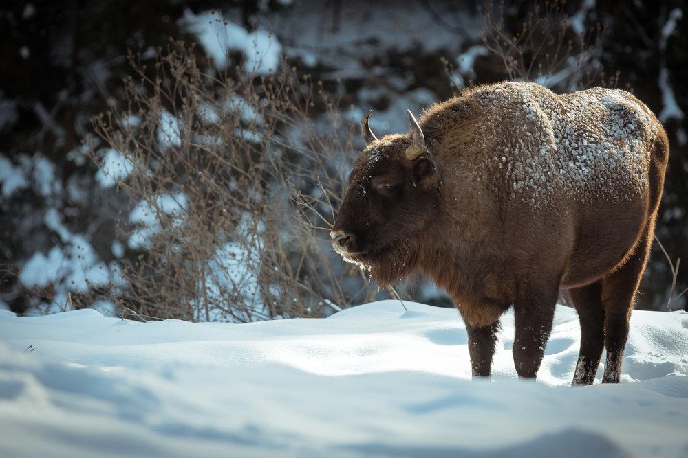 Bison roaming freely in NE Romania - January 2019