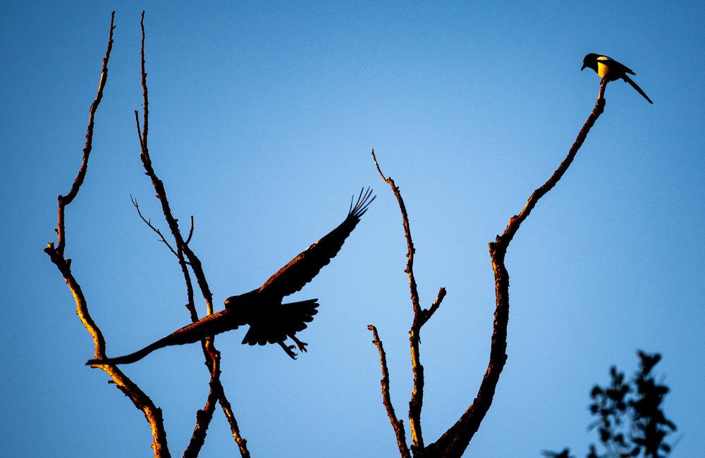 Lesser spotted eagle in Transylvania - April 2018