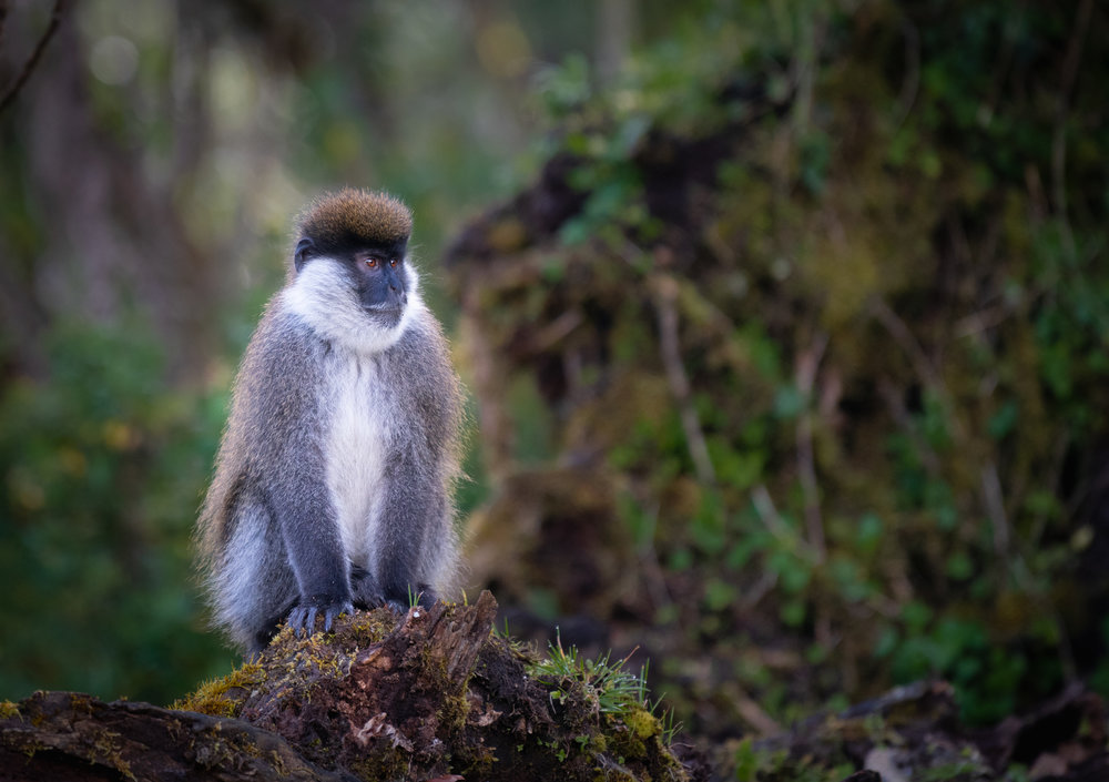 Bale Mountains Vervet in Harenna Forest - September 2018