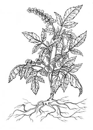 "White Baneberry , Vincent Frano, ink on paper, 12½"" x 10½"" framed, $150"