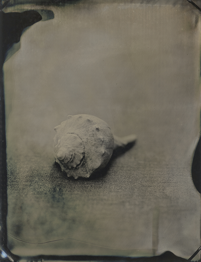 "Plate 60  Knobbed whelk (Busycon carica) , archival inkjet print of scanned wetplate collodion (tintype), 8"" x 10"", $125"