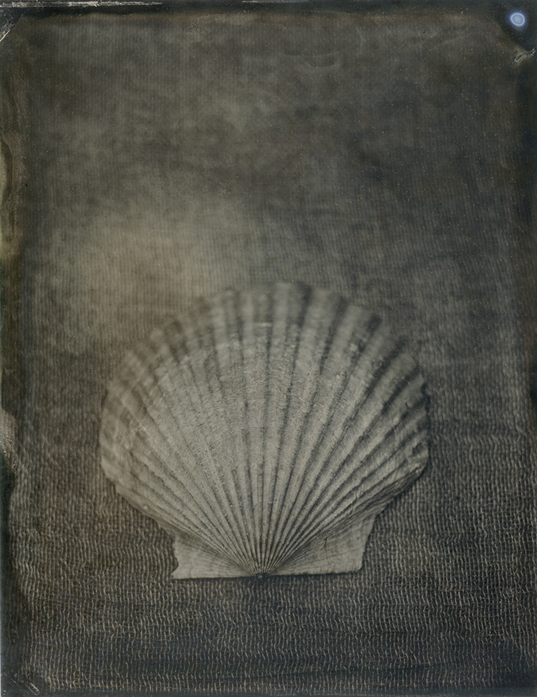 "Plate 83  Atlantic calico scallop (Argopecten gibbus) , archival inkjet print of scanned wetplate collodion (tintype), 8"" x 10"", $125"