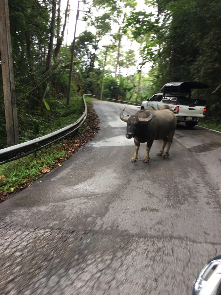 The team saw water buffalo every day on the way to class