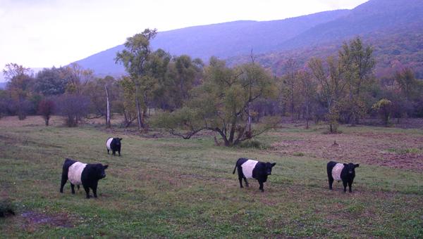 oreo cows vermont