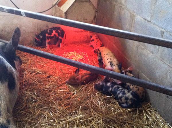 warren wilson farm and piglets