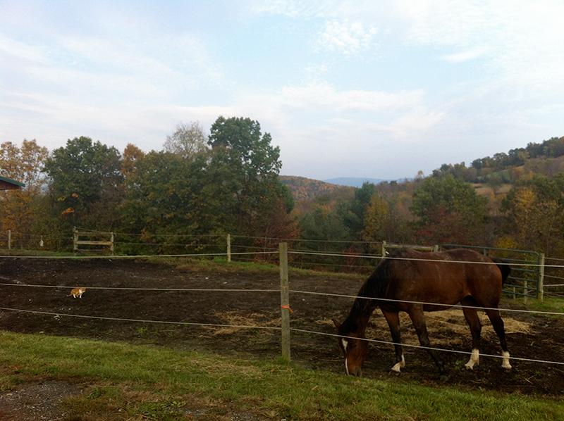 farm orange cat horse