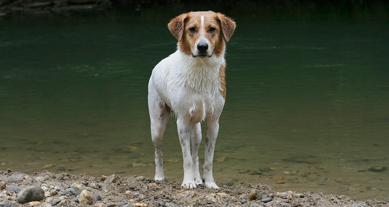 beagle collie dog swimming noble