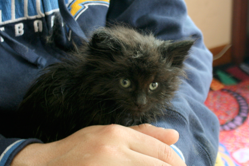 long haired black foster kitten at 6 weeks old