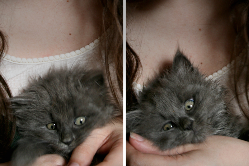 long haired grey foster kitten at 6 weeks old