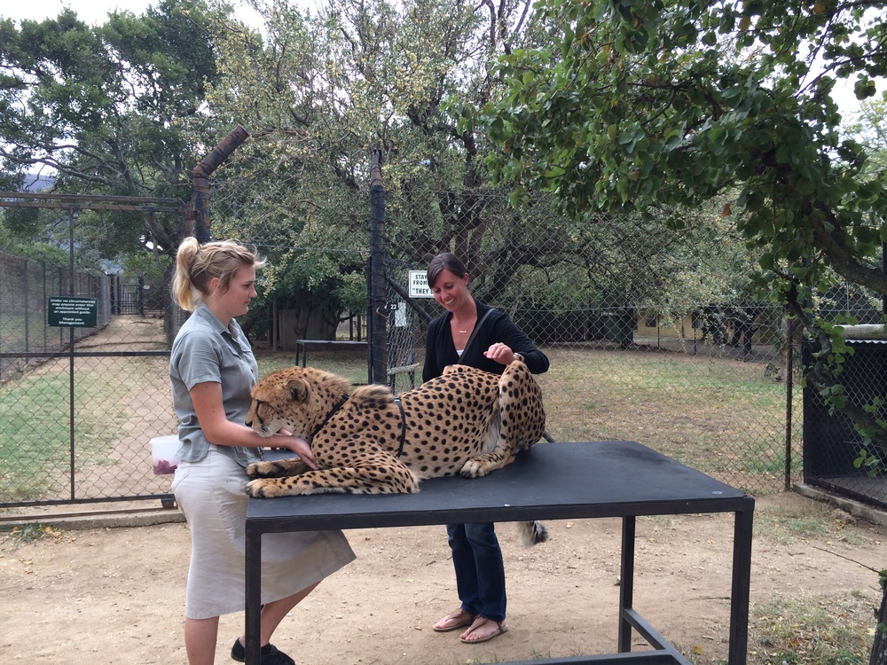 Petting a cheetah at a rehabilitation center in South Africa